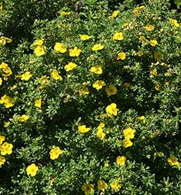 Happy Face Potentilla Yellow Flowering Shrubs