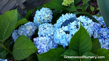 Changing Hydrangea from Pink to Blue