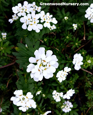 Iberis Purity Candytuft Ground Cover with White Flowers