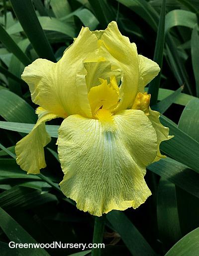 Iris 'Harvest of Memories' Yellow