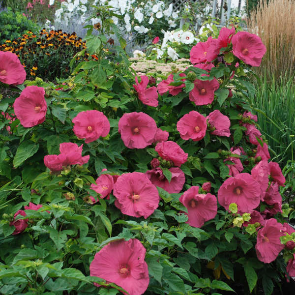 Jazzberry jam hibiscus pink flowering perennials jazzberry jam hibiscus mightylinksfo