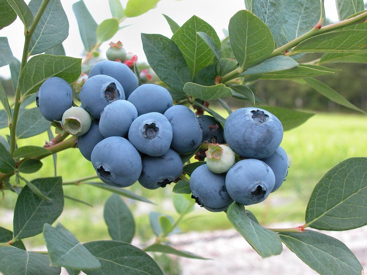 Jersey Blueberry Bush