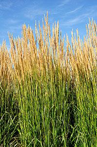 Karl Foerster Grass