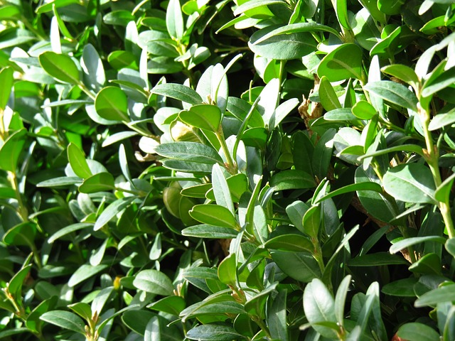 Boxwood Wintergreen