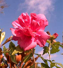 Lucy Rose Of Sharon Double Red Flowering Red Flowering Shrubs
