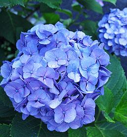 Image result for blue hydrangeas