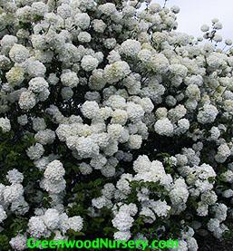 Old Fashioned Snowball Viburnum
