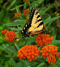 Butterfly Milkweed to attract Monarch Butterfly