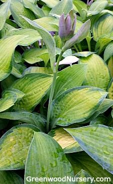 Paul S Glory Hosta Buy Shade Loving Plants