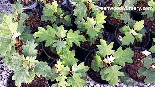Pee Wee Oak Leaf Hydrangea