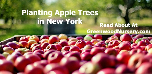 Planting Apple Trees in NY