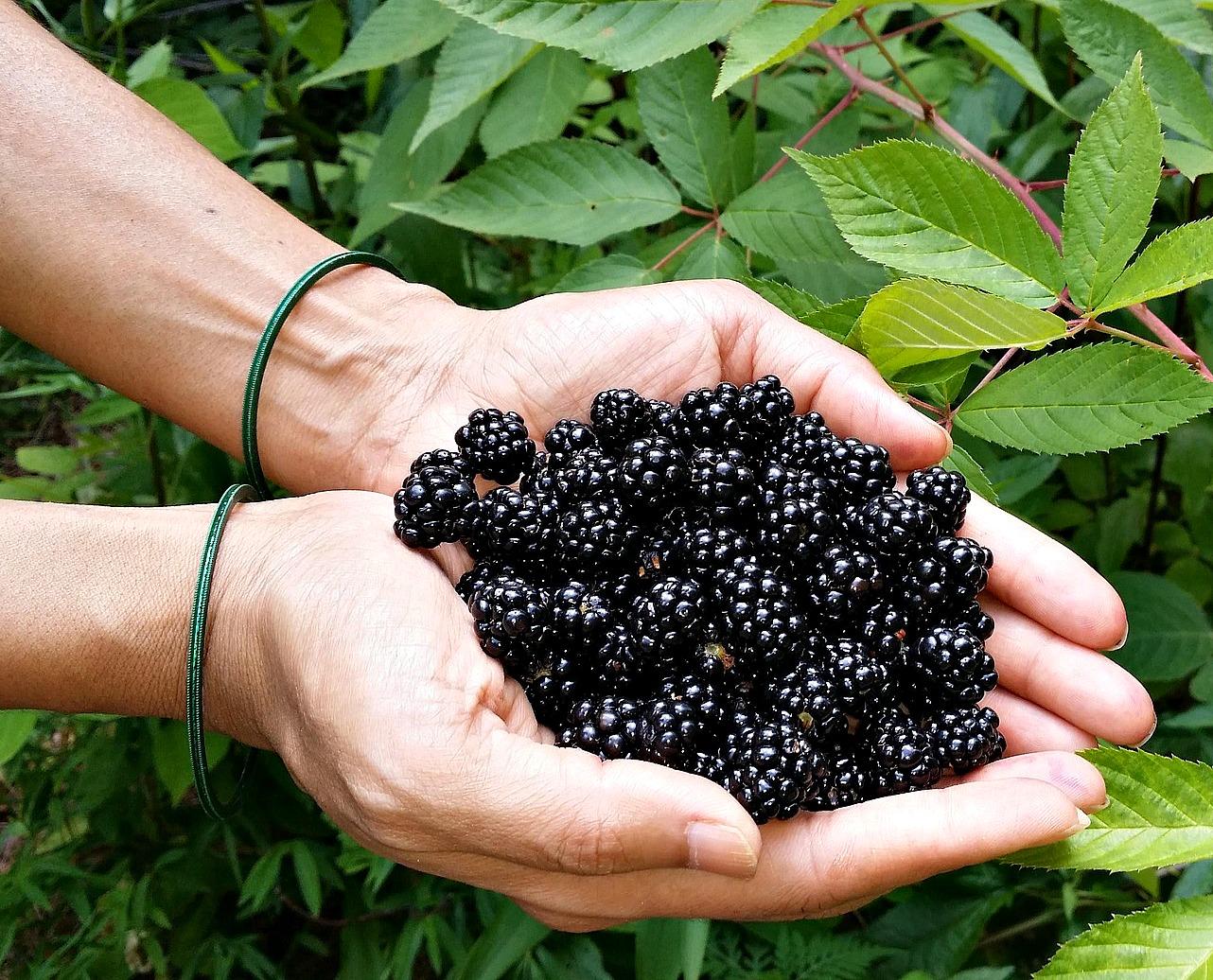 Ponca Blackberry Plants