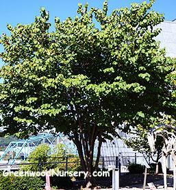 Eastern Redbud Tree Flowering Trees