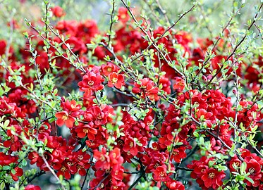 Red Flowering Quince Red Flowering Shrubs
