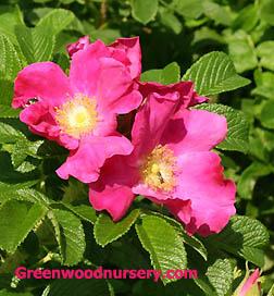 Rugosa Rose Red Bushes