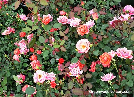 Carefree Celebration Rose Flowering Shrubs