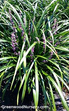 Royal Purple Liriope | Lilyturf