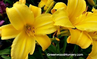 Hemerocallis Stella De Oro Daylily