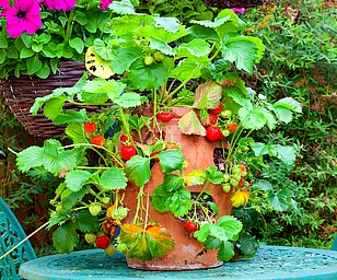 Strawberry Jar Planted