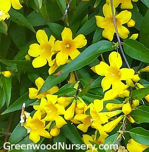 Gelsemium rankinii swamp jessamine buy yellow flowering vines online gelsemium rankinii swamp jessamine mightylinksfo