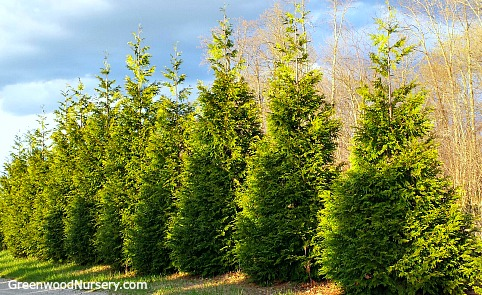 Thuja Green Giant Arborvitae Evergreen Hedge