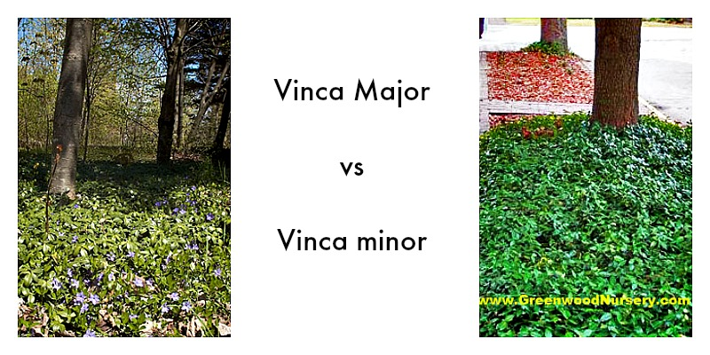 Vinca Major vs Vinca minor Groundcover Plants