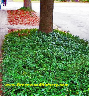 Vinca minor evergreen ground cover best vinca minor for Best low growing groundcover for full sun