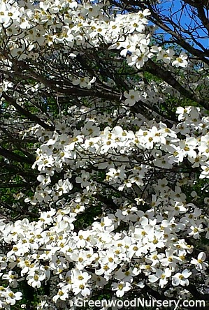Picture of white flowering dogwood tree