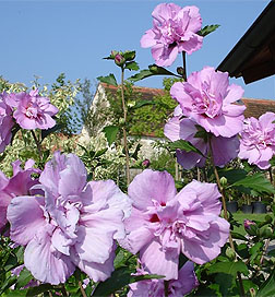 Ardens Rose Of Sharon Double Pink Flowering Pink