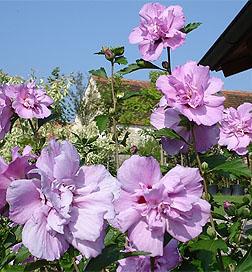 Arden Rose Of Sharon Tree Flowering Trees