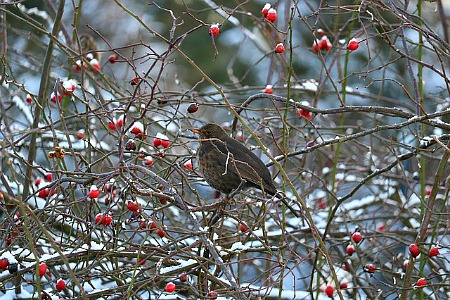 Bird eating berries and rose hips in winter