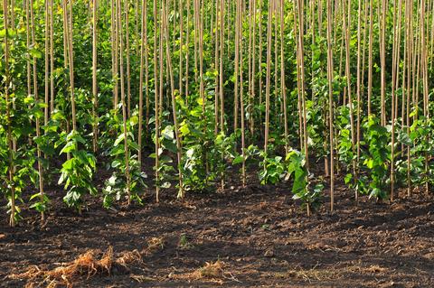 Hybrid Poplar Trees