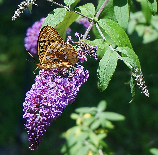 Butterfly on butterfly bush flower