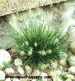 Little Bunny Pennisetum Grass