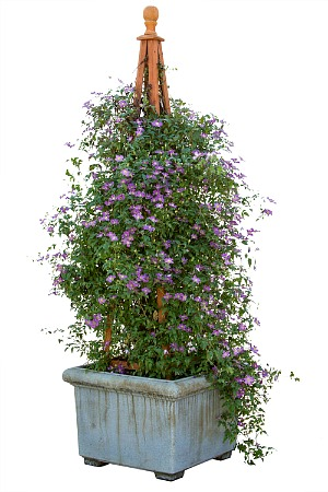grow clematis in pots