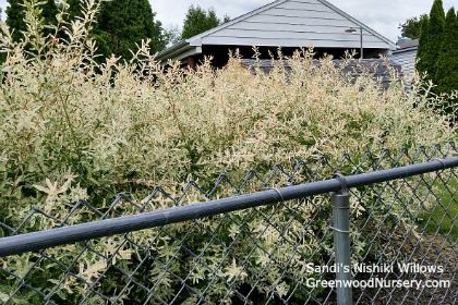 Fast Growing Nishiki Willow Shrubs For Privacy