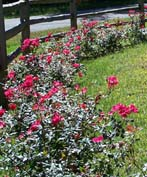 winter care for your shrub roses