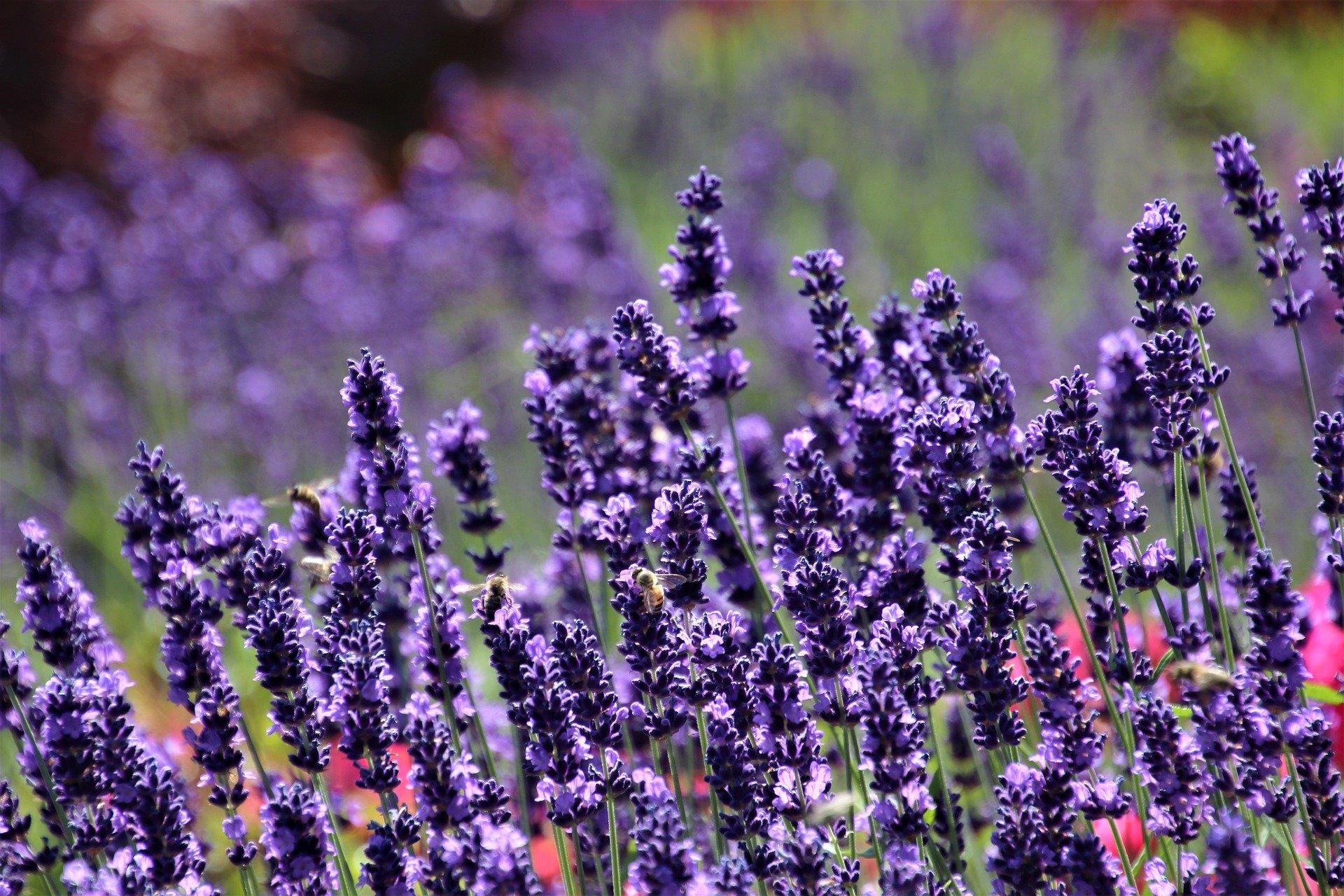 Sensational Lavender - NEW!!!