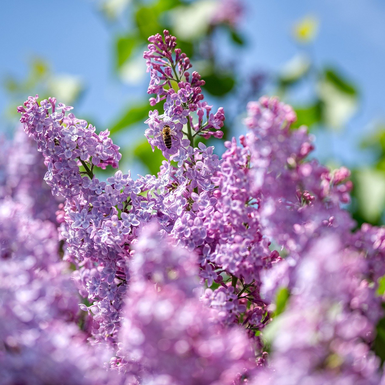 Persian Lilac Shrubs