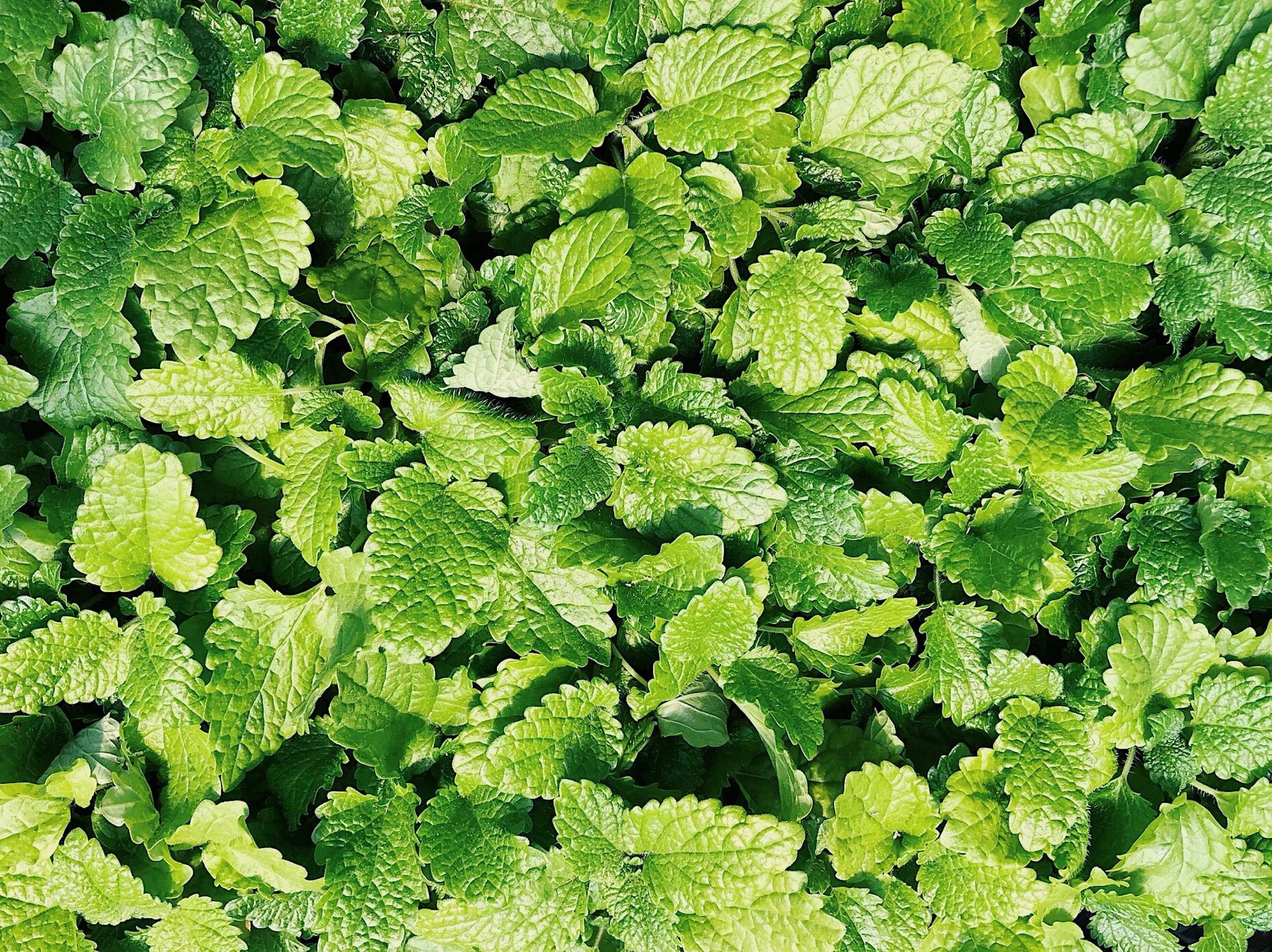 Spearmint Mint