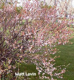 nanking cherry planting instructions