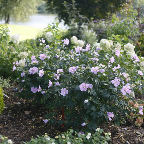 Pollypetite Rose of Sharon