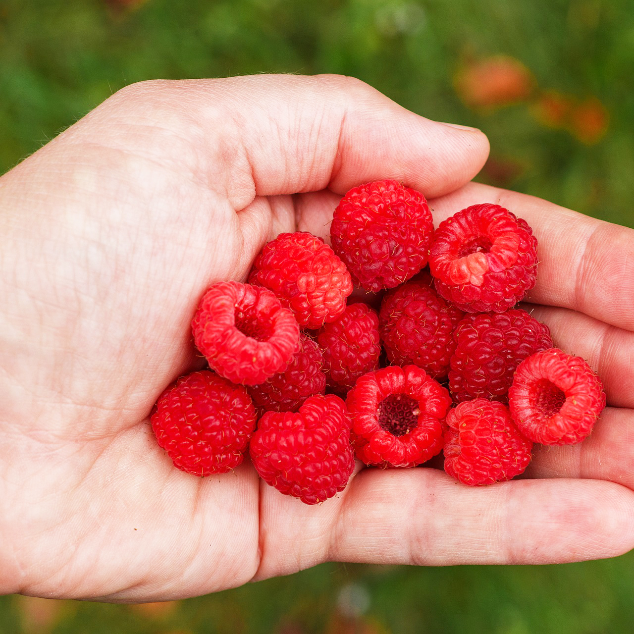 Nova Summer Red Raspberry Bushes