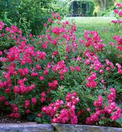 Red Drift Ground Cover Roses