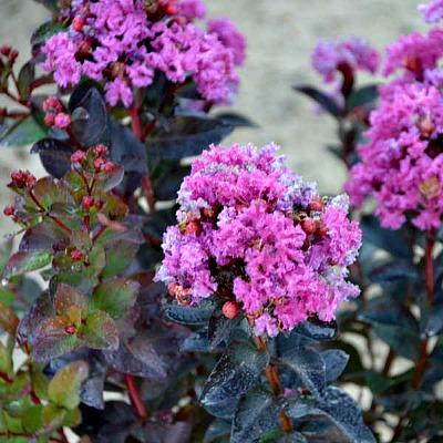Spiced Plum Crape Myrtle Dwarf Flowering Shrubs