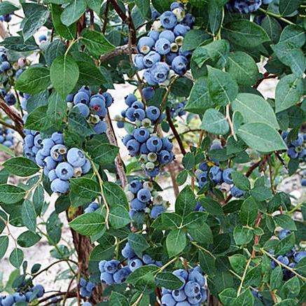 Sweetheart Blueberry Bushes