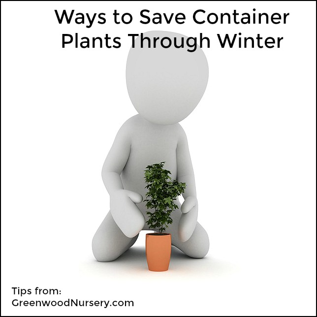 how to save container plants through winter