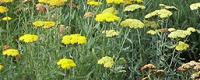Sun perennial Plants