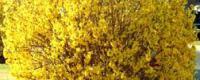 Spring Flowering Shrubs and Trees