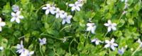 Walk on Ground Cover Plants